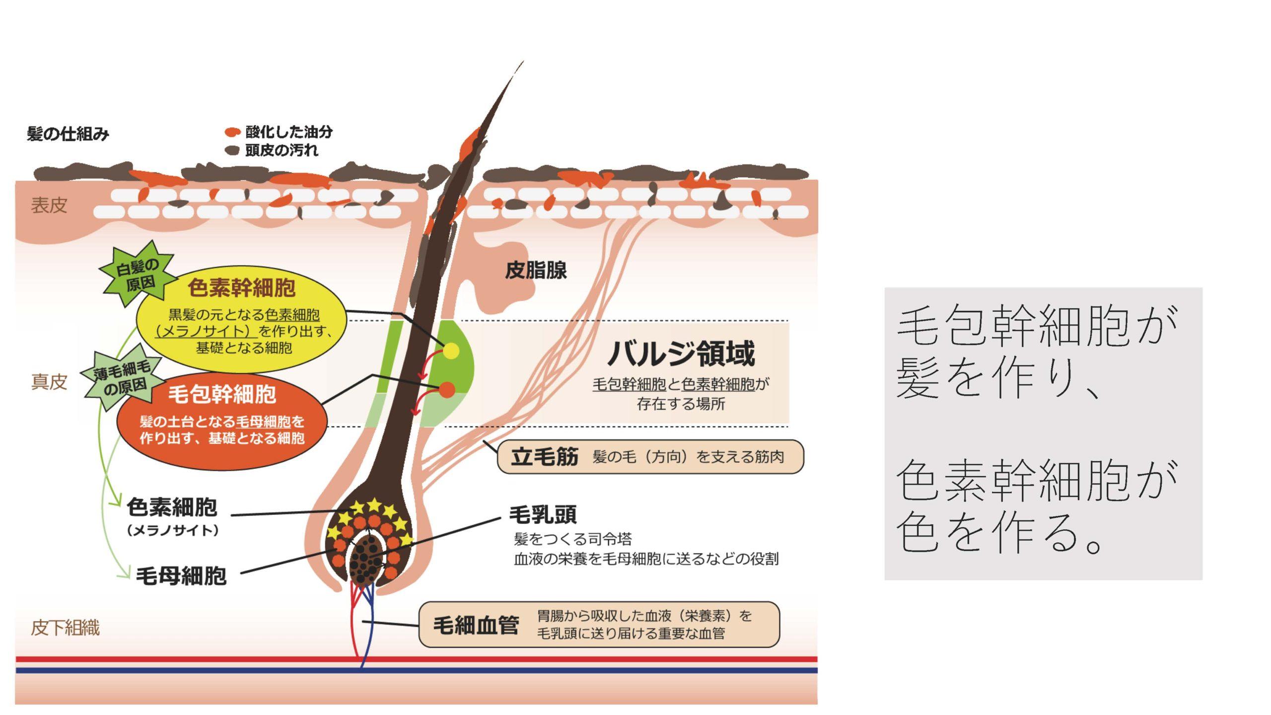 バジル領域に守られている色素幹細胞と毛包幹細胞